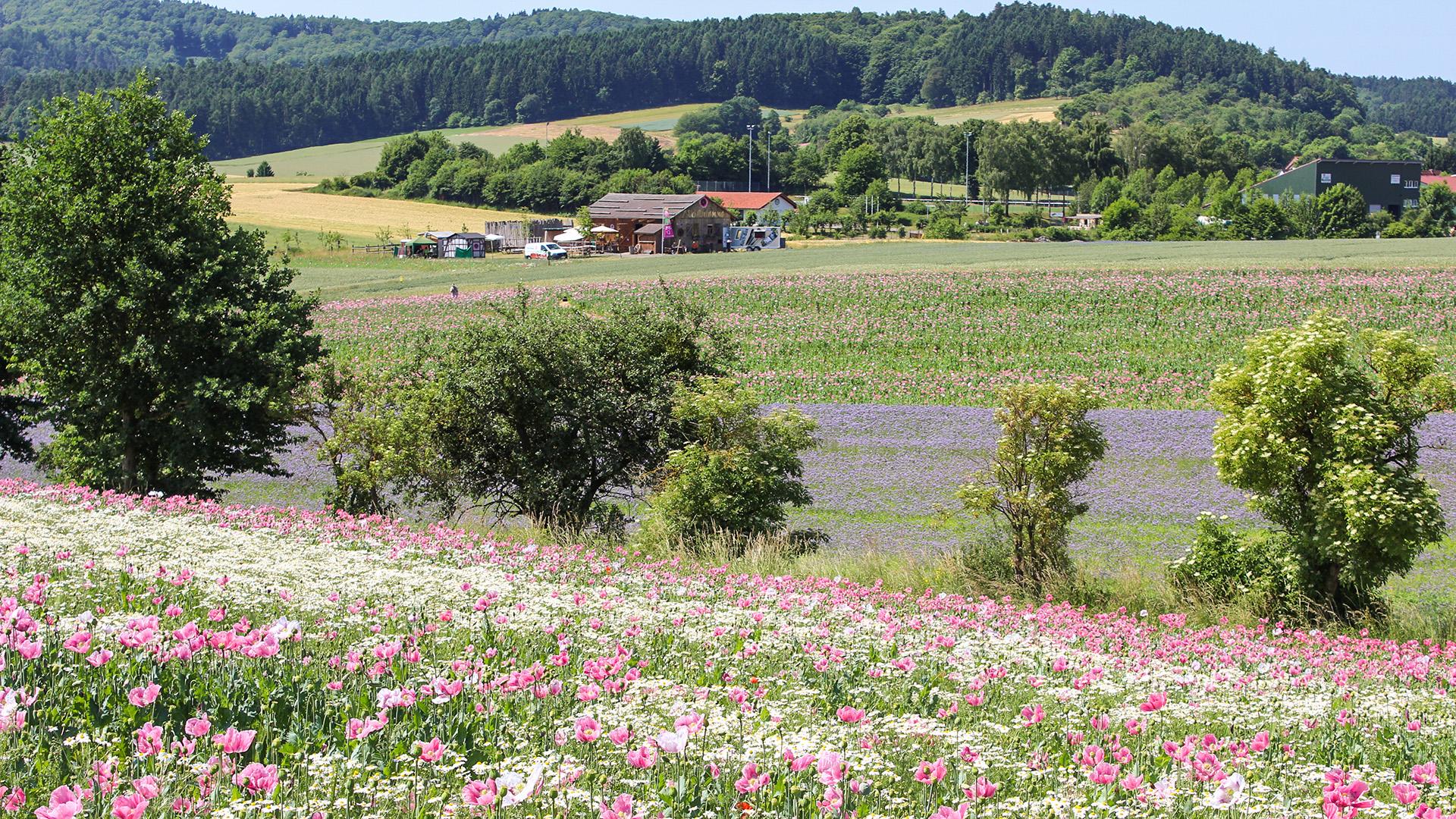 Mohnblüte am Hohen Meißner in Germerode